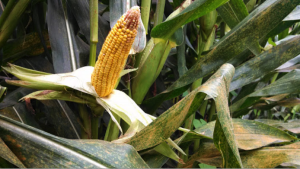 Cover photo for Southern Corn Rust