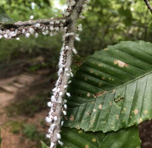Beech blight aphids (Grylloprociphilus imbricator) on a beech twig. Photo:SD Frank