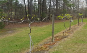 Cover photo for Register Now - Muscadine Pruning Workshop - Beaufort County Center