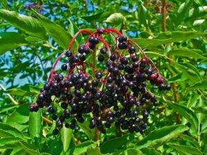 Elderberry Shrub with Berries