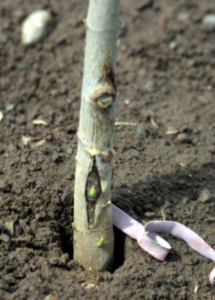 Budded T-Graft in Tree